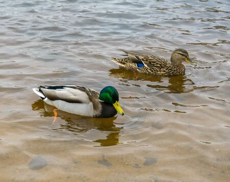 One duck and one drake swim in clear water. 스톡 콘텐츠