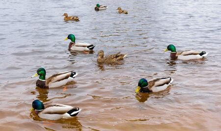 Three ducks and six drakes swim in clear water.
