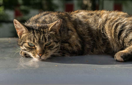 The tabby cat lies on the hood of the car and looks indifferently at the photographer