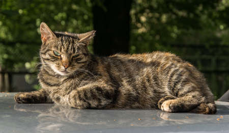 An adult tabby cat lies on the hood of a car and looks at the photographer