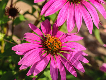 A bee sits on a purpurea echinacea flower and collects nectar. Фото со стока