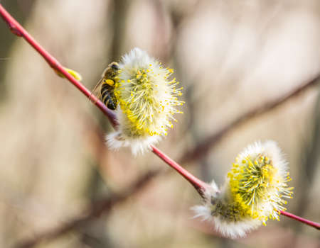 A bee collects nectar from a willow on a bright sunny spring day. Banque d'images