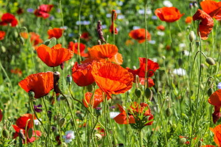 Beauty of red poppy field close up.