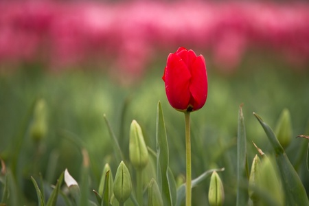 Mount Vernon tulip - single red tulip against pink background
