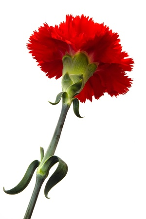 beautiful red carnation isolated with clipping path on white background Stock Photo - 8279138