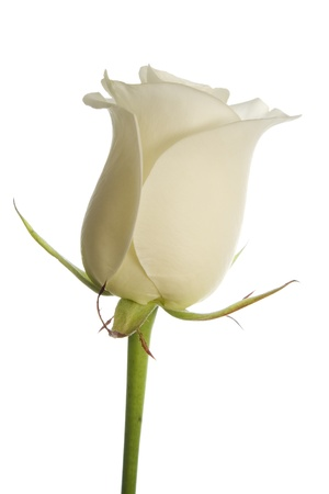 A creamy white rose on a pure white background isolated with clipping path. photo