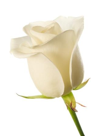 rose stem: Creamy white rose bud on white background