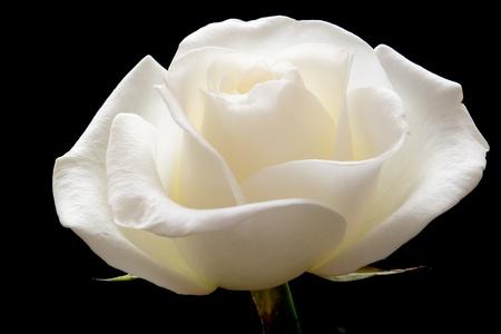 white rose on pure black background