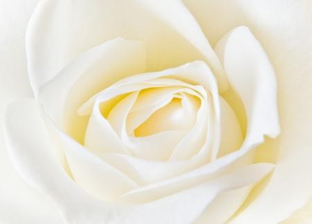 soft creamy white rose background photo