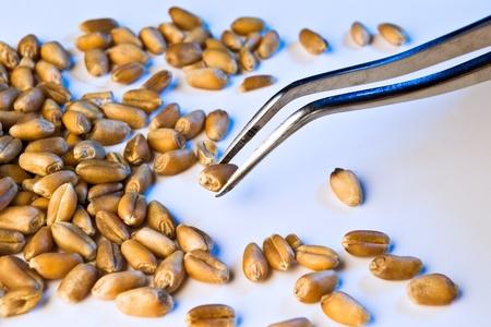 tarwe zaden geanalyseerd op pincet in blauw licht