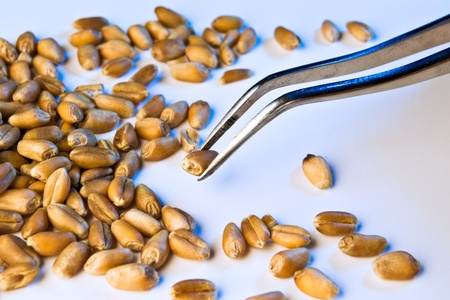 wheat seeds analyzed on tweezers in blue light