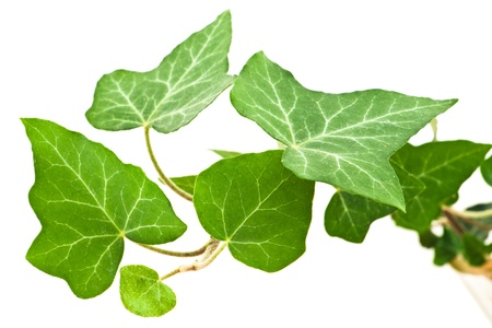 green ivy leaves with veins on white background