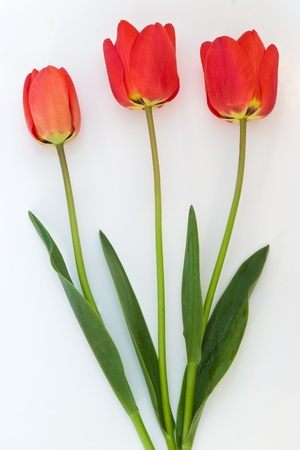 three red tulips on white background photo