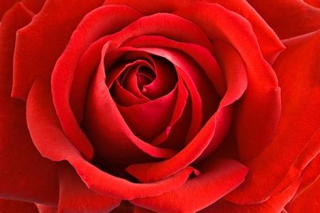 close-up of a big red rose