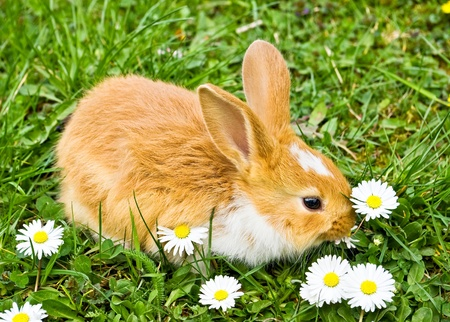 bunnie: baby rabbit eating flowers on green grass