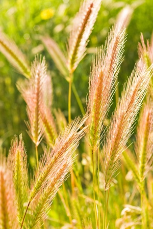 dry ears on green grass field photo