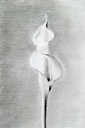 artistic hand-drawn calla lily flower photo
