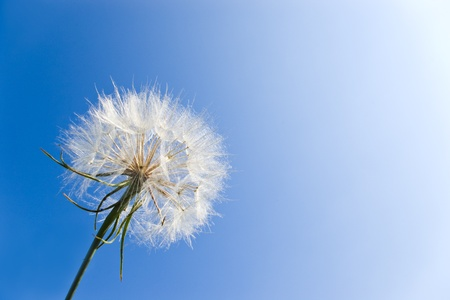 very detailed dandelion on clear blue sky photo