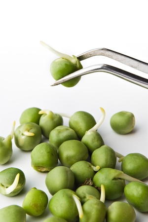 biochemistry research concept - pea examination on tweezers photo
