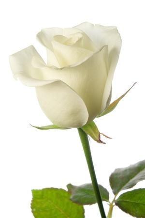rose stem: white rose