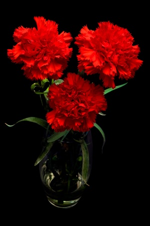 red carnation: Three red carnation flowers in vase on black background