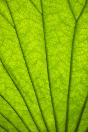 venation: green leaf background with venation