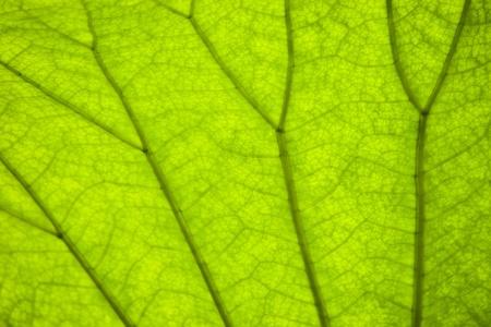 venation: green leaf venation for background Stock Photo
