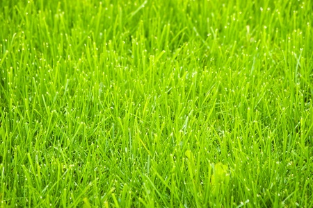 spring green grass with dew photo