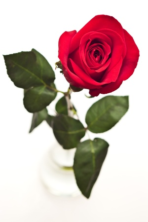 single rose: red rose in glass vase on white Stock Photo