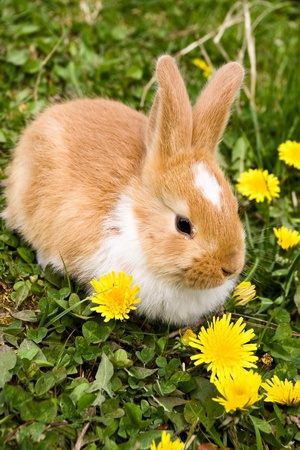 bunnie: Easter rabbit on grass with yellow flowers