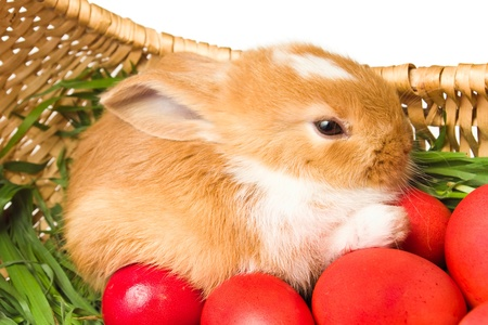 bunnie: Easter rabbit and red eggs in basket Stock Photo