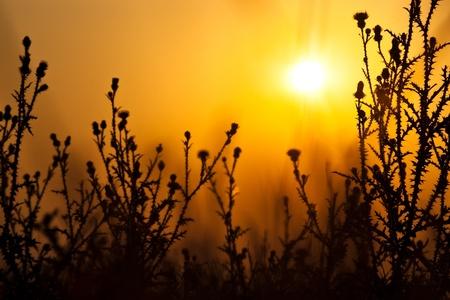 dry thistles silhouette on sunrise photo