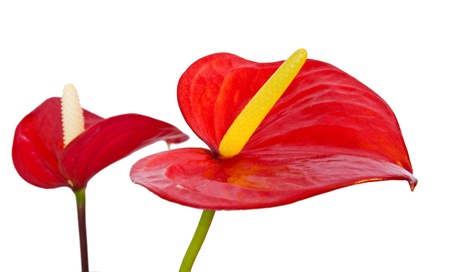 anthurium: two red anthurium flowers isolated  Stock Photo