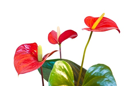 anthurium: three red anthurium flowers isolated with clipping path