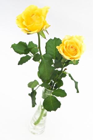 rosas amarillas: Dos rosas amarillas en florero en el fondo blanco