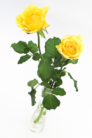 yellow roses: Two yellow roses in vase on white background Stock Photo