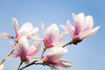 magnolia: purple magnolia flowers on clear sky