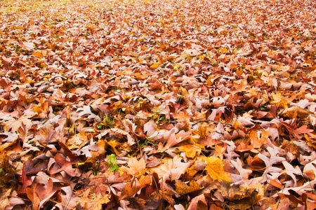 ground cover: autumn brown leaves on ground