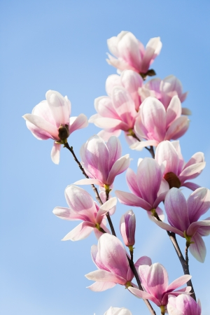 purple magnolia flowers on clear blue sky