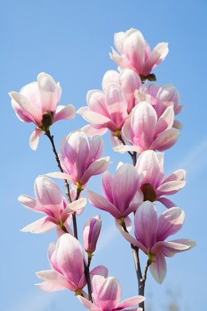 magnolia flower: magnolia flowers on clear blue sky Stock Photo