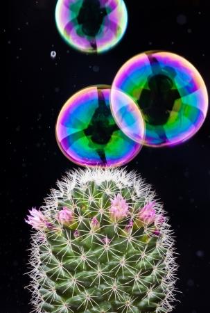 bursting: soap bubble bursting on cactus on black background Stock Photo