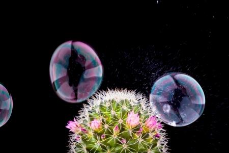 bursting: soap bubble bursting and cactus on black background