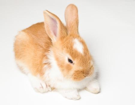 bunnie: cute brown little baby rabbit