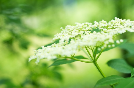 elderflower with shallow depth of field Banque d'images