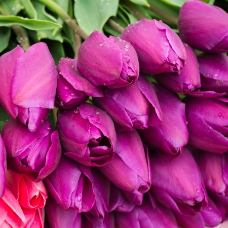 fresh puple tulips with water-drops photo