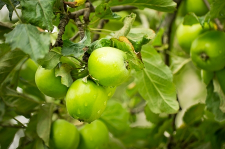 verde manzana: manzanas verdes en rama de árbol de manzana