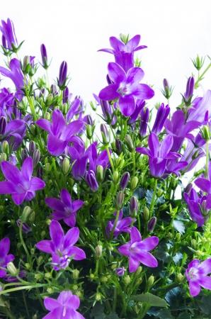 bluebells: closeup of campanula flowers on white