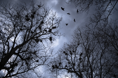 flocking: scary crows flying and resting on trees with nests