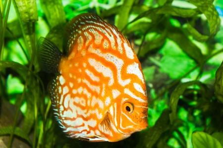 orange discus fish in aquarium with green plants Stock Photo - 16183238