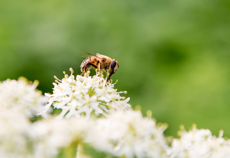 Honey bee on a white and flower with a green background.